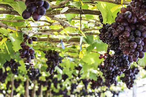 Agrarische sector veredeling druiven software